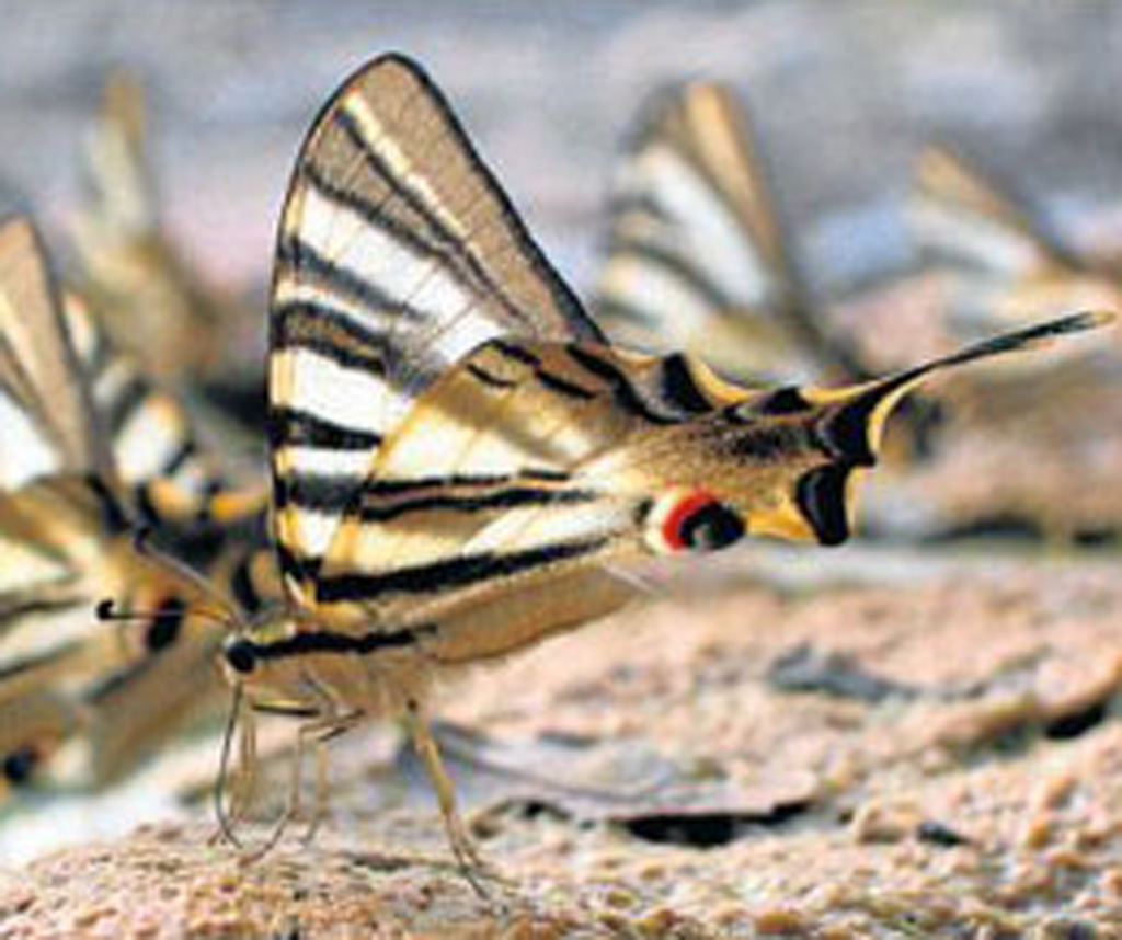 Climate change will damage butterfly populations in the Mediterranean